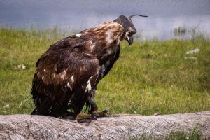 Altai orli